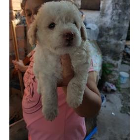 Perritos Chiquitos Caniches Perros De Raza En Mercado Libre Argentina