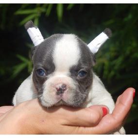 Cachorros Bulldog Frances Blue Perros De Raza En Mercado Libre