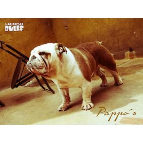 Servicio De Stud Bulldog Ingles Pappos De Costa Gaia Fca!!!