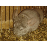 Chinchillas Macho Color Beiges