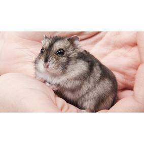 Doação Hamster Anão Russo Filhotes