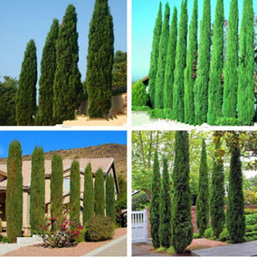 25 Sementes De Cipreste Italiano P/ Mudas Paisagismo Jardim
