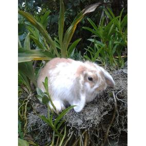 Conejos Holandes Lop