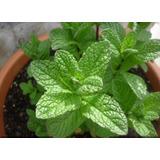 200 Semillas De Mentha Spicata - Hierbabuena - Yerbabuena