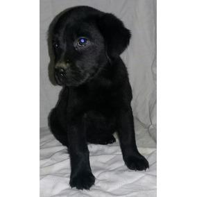 Labrador pelo corto mercadolibre