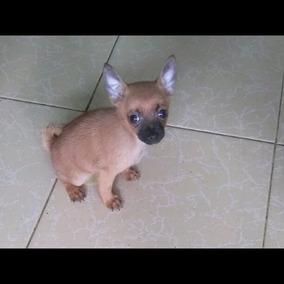 Preciosa Chihuahua Mini Pelo Largo En Puebla