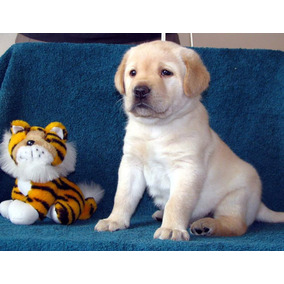 Cachorro Labrador Retriever Ingles Perros Perros Y Cachorros