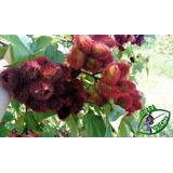 250 Sementes De Urucum, Safroa Coloral