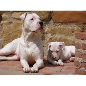 Cachorro Dogo Argentino Hembra.