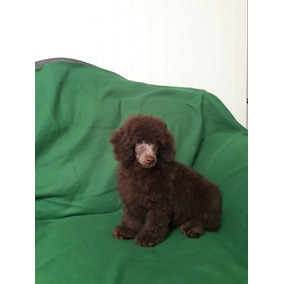 French Poodle Macho