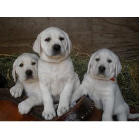 Labradores Retriever Cachorros Aceptamos Tarjetas