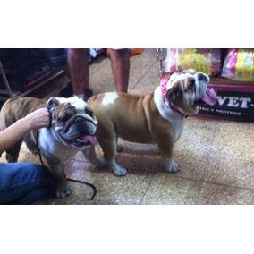 Bulldog Ingles. Servicio De Stud. Excelente Pedigree