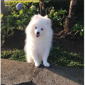 Cachorro Pomerania Macho Blanco Nieve