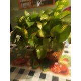 Planta Pitangueiras