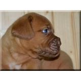 Dogo De Burdeos Cachorros En Adopción