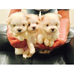 Perros Chiquitos Mini Perros De Raza En Mercado Libre Argentina