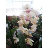 Orquideas Negras Puebla Jardin Y Exteriortodo Para En Mercado