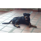 Cruce De Rottweiler Puro Para Montas En Caracas