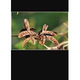 50 Sementes De Calliandra Celoi
