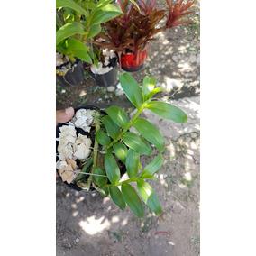 Kit Dendrobium Aphyllum X Dendrobium Anosmum Superbum Alba
