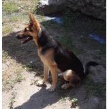 Cachorra De Pastor Alemán Hembra Pura 7 Meses