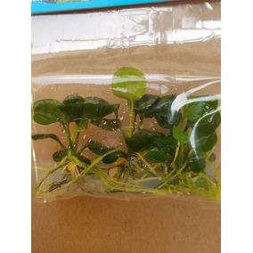 Anubia Coin Leaf 3 Plantas