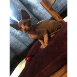 Gatito Sphynx Para Adopción