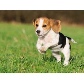 Cachorros Beagle Machos.