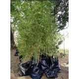 Plantas De Cañas Bamboo O Bambú - Decoración - Al Por Mayor