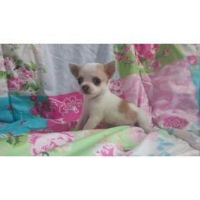 Chihuahua Lindas Femeas Bicolor