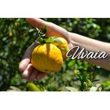 eugenia Uvalha-uvaia Gigante / Frutos Deliciosos