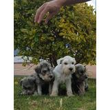 Cachorros Schnauzer Entregas Y Envíos A Nivel Nacion