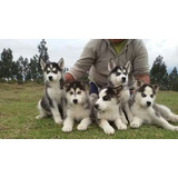 Cachorros Husky Siberiano Envios A Nivel Nacional