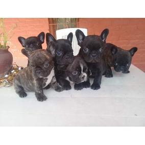 Bulldog Frances Cachorros Hermosos 45 Dias Mach Y Hem C/fca
