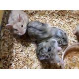 Hamster Ruso + Bolsita De Comida Mascota Ideal
