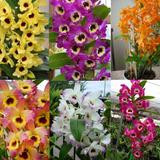 Pacote 10 Mudas De Orquidea Dendrobium Lindas Frete Grati