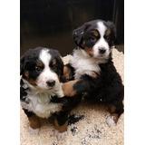 Boyero De Berna Cachorros En Adopción.