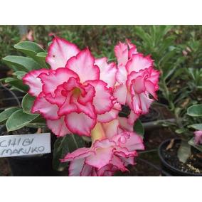 Rosa Do Deserto Chibi Maruko - Cor Garantida Dobrada Tripla
