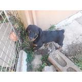 Rottweiler Cachorra