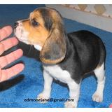 Cachorros De Beagel Magníficos Para Re-homing