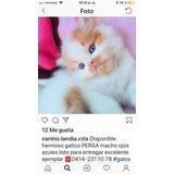 Disponibles Hermosos Gaticos Persa Hembra Y Macho