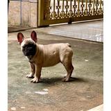 Lindos Filhotes De Bulldog Francês!!!