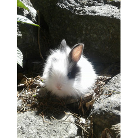 Conejos Angora Inglés