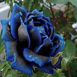 Plantas De Rosas Azules Jardinería En Mercado Libre México