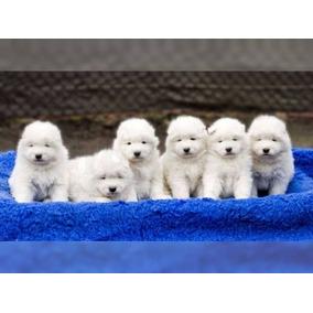 Cachorros De Samoyedo Para Adopción.