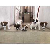 Lindos Filhotes De Cães Da Raça Jack Russell Terrier