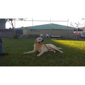 Salto, Labrador Shadu Full Pedigree Linaje De Campeones
