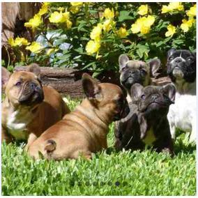 Cachorros Bulldog Francés Hembras Y Machos
