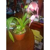 Orquidea Catleya