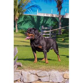 Vendo Filhote De Rottweiler 4 Maixo E 3 Fêmea 350 Cada